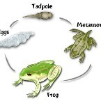 webquest_frogs_lifecycle.jpg